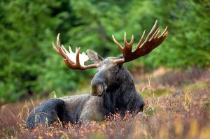 800px-Male_Moose